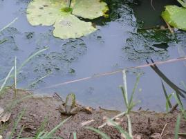 ジャンプ前のカエル