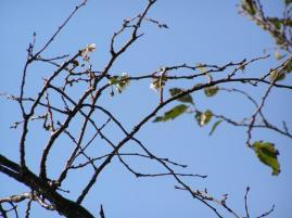 十月桜開花