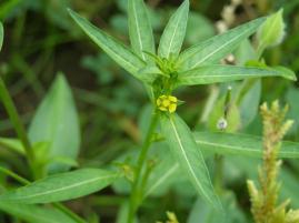 チョウジダデ・黄色い小さな花