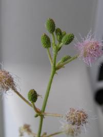 オジギソウ・つぼみ、終わりの花