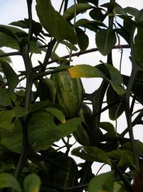 カラスウリの実(緑色)