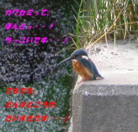 近所の川の住民、カワセミ・・♪