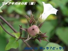 マメアサガオの実(種)