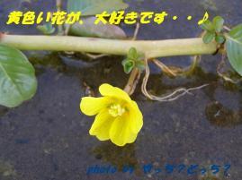 ミズキンバイの黄色い花