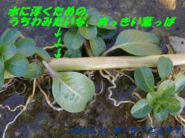 浮くための葉っぱ+白い呼吸根