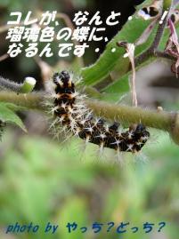 ルリタテハ幼虫