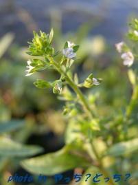 カワヂシャの白い花