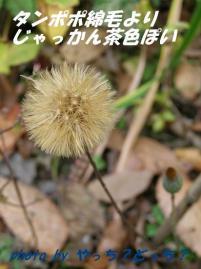 秋のセンボンヤリ(綿毛)