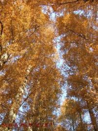 メタセコイアの並木