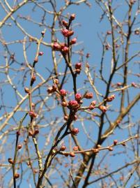 2008年新春の梅