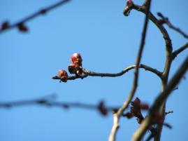 もうチョイで、咲きそうな梅・・♪