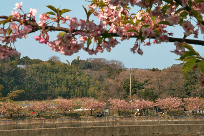 小松ケ池の河津桜