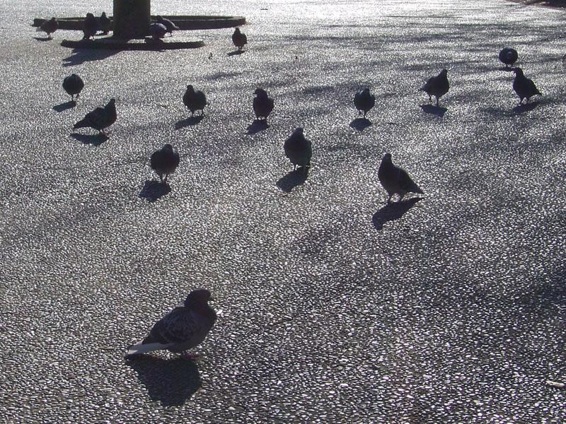 飛び立つハト1