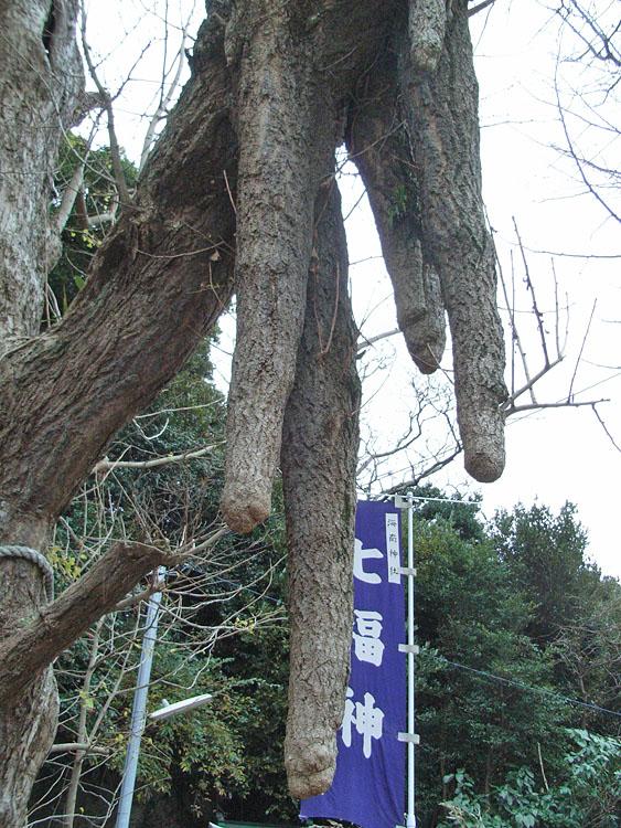 081013海南神社大いちょう2