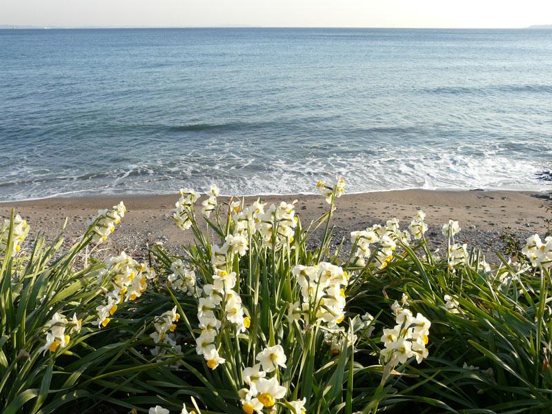 080210野比海岸水仙3