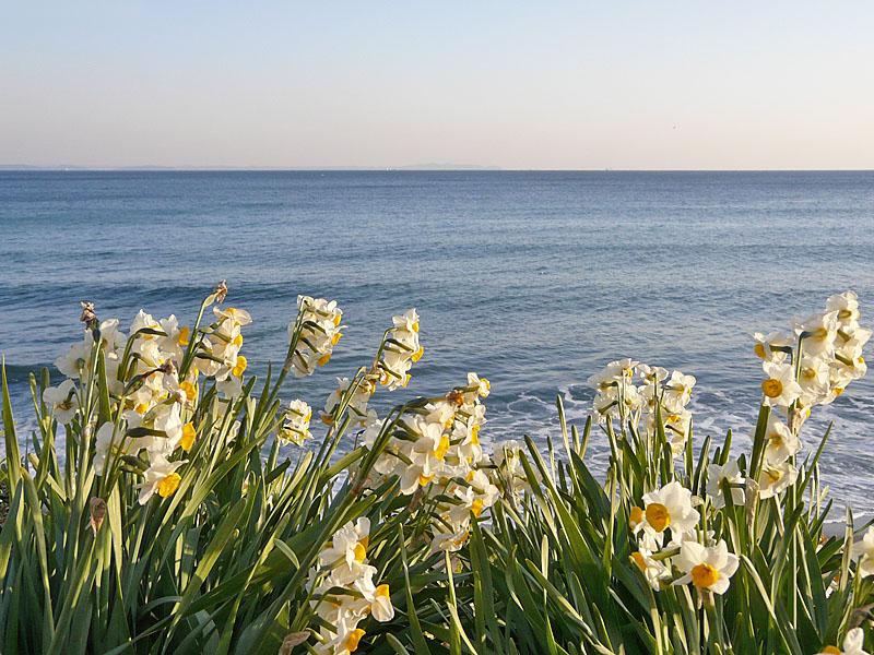 080210野比海岸水仙6