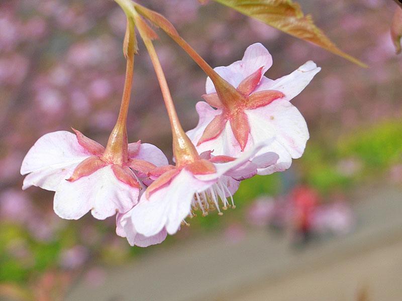 080302河津桜1