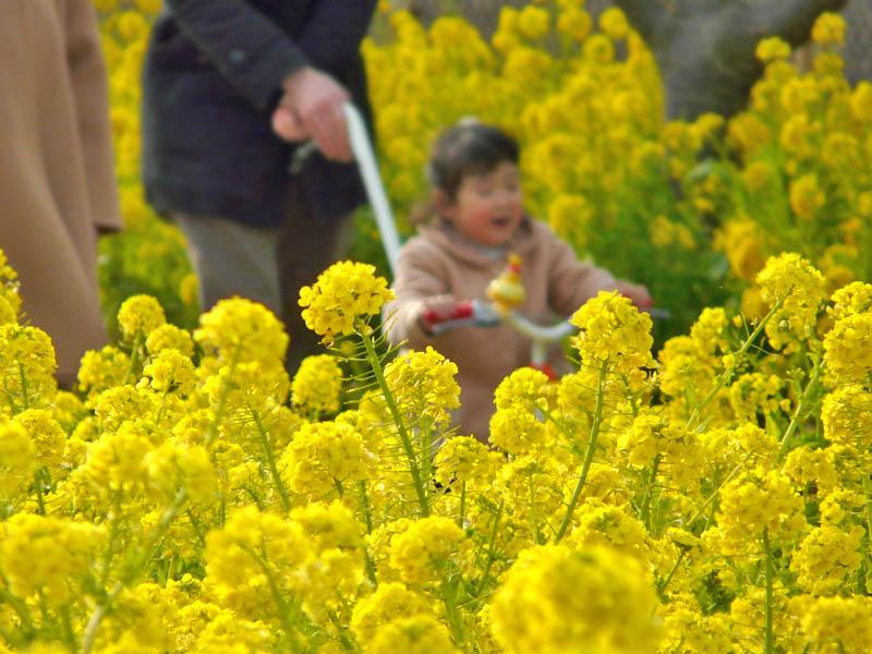 080302菜の花と女の子