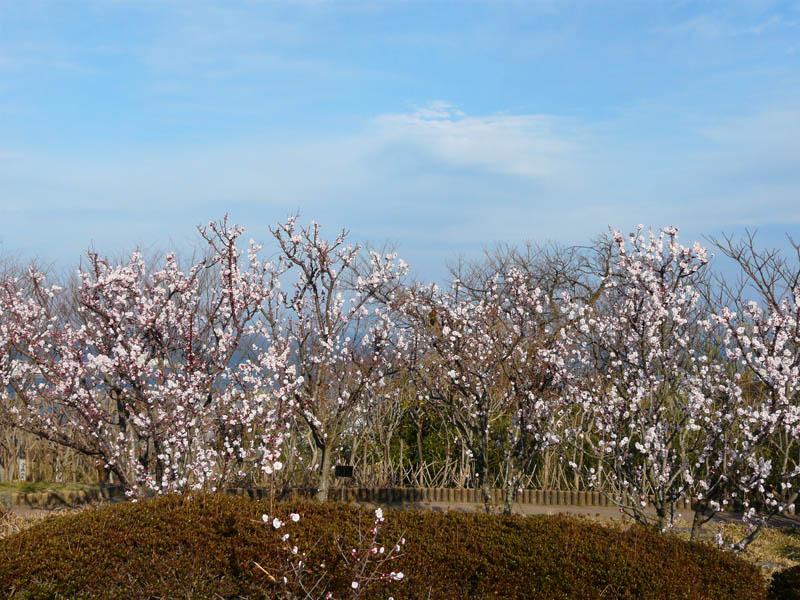 080309花の国梅1
