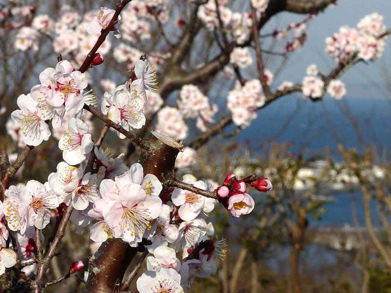 080309花の国梅4