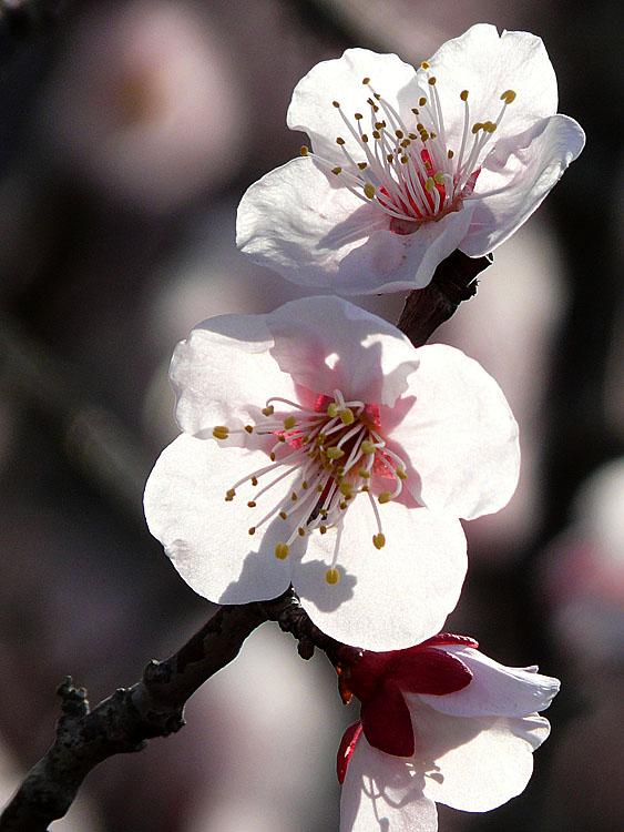 080309花の国梅だけ2