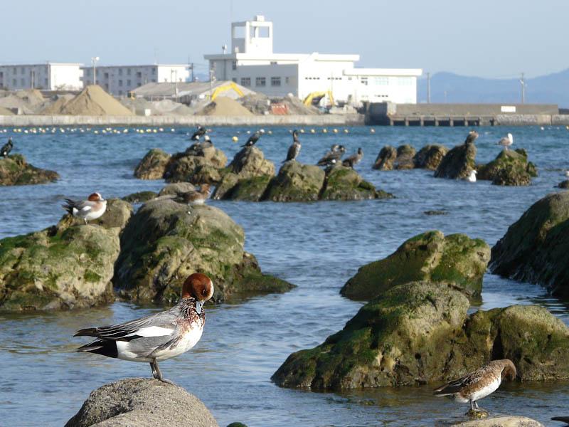080316長瀬海岸海鳥1