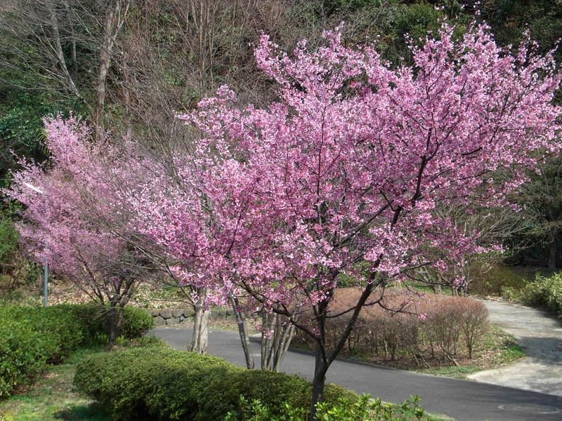 080318寒緋桜とメジロ1