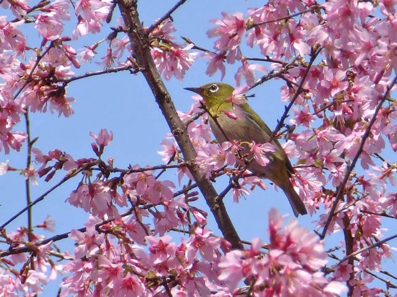 080318寒緋桜とメジロ2