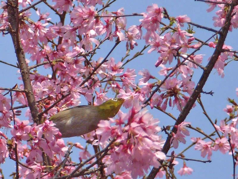 080318寒緋桜とメジロ3