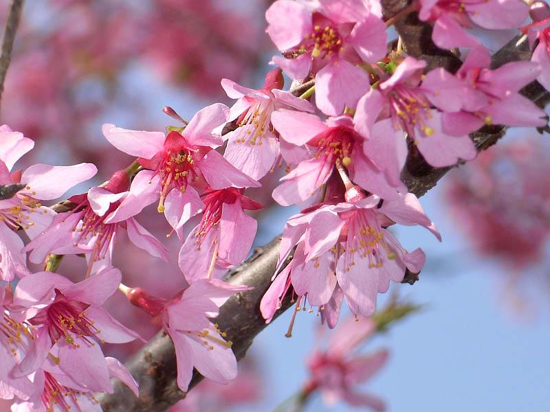 080318寒緋桜とメジロ4