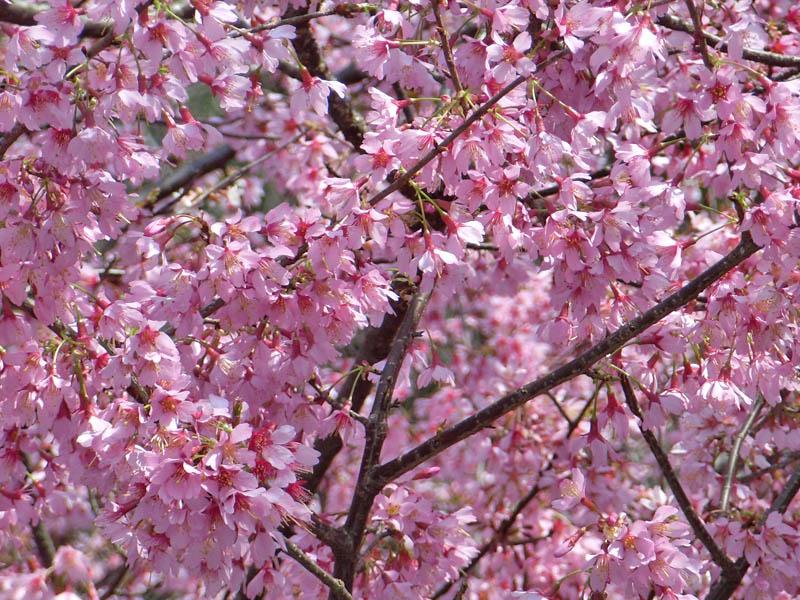 080318寒緋桜とメジロ5