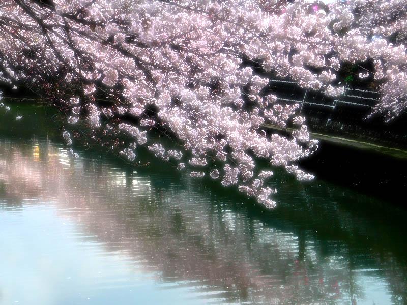080328大岡川の桜1