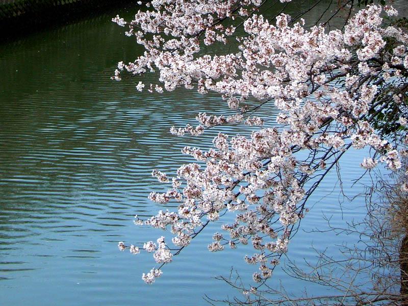 080328大岡川の桜2