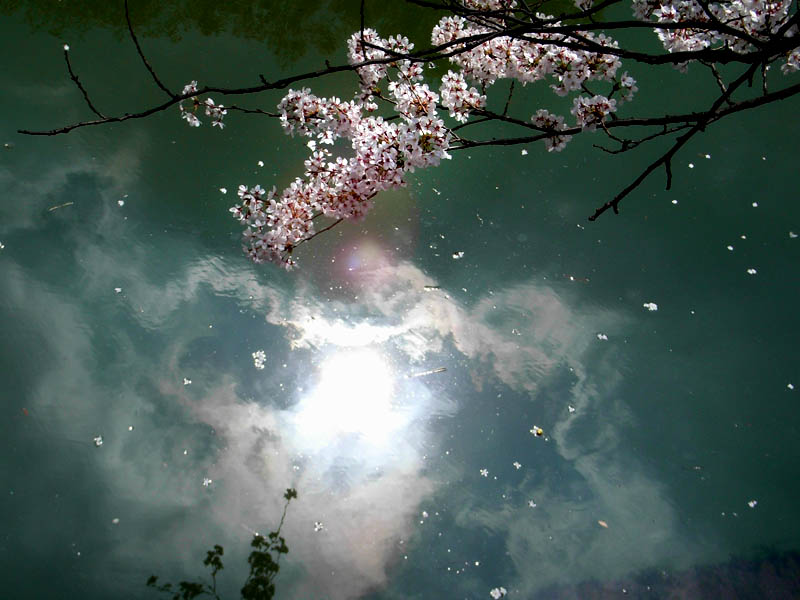 080328大岡川の桜3