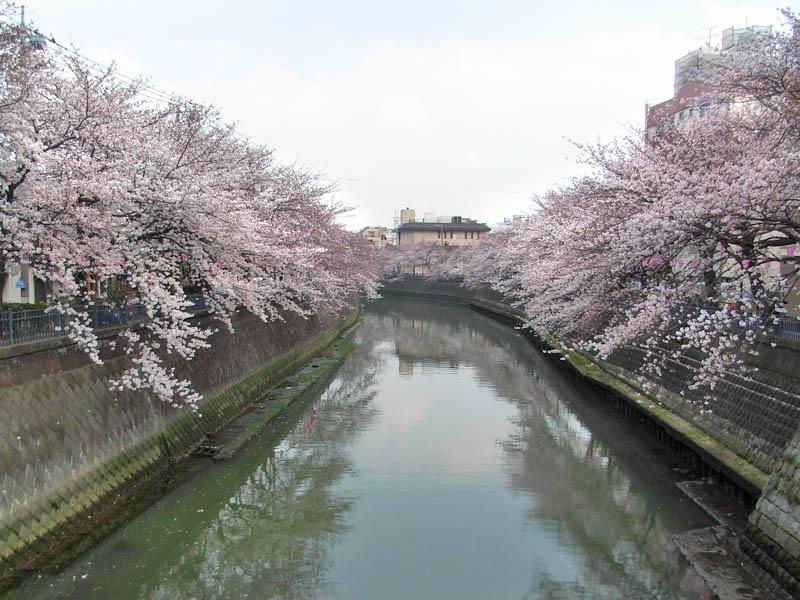 080328大岡川の桜4