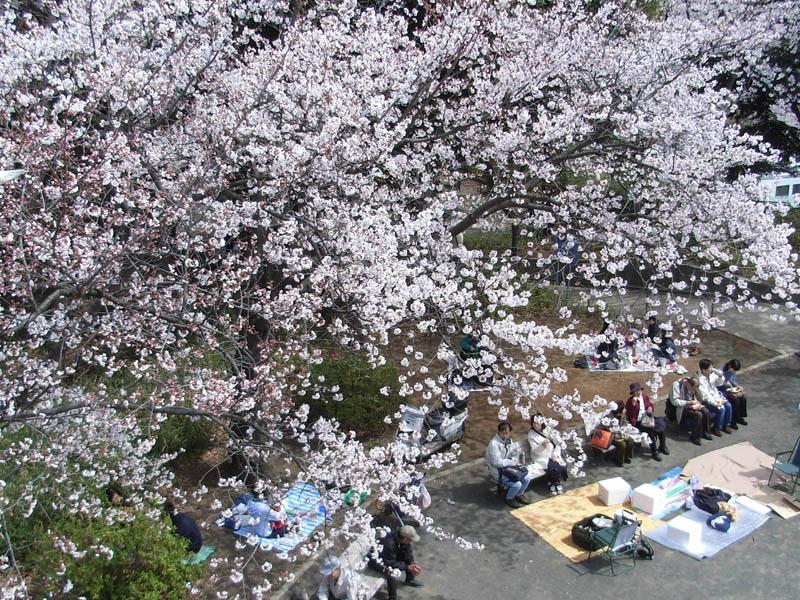 080329弘明寺公園桜1