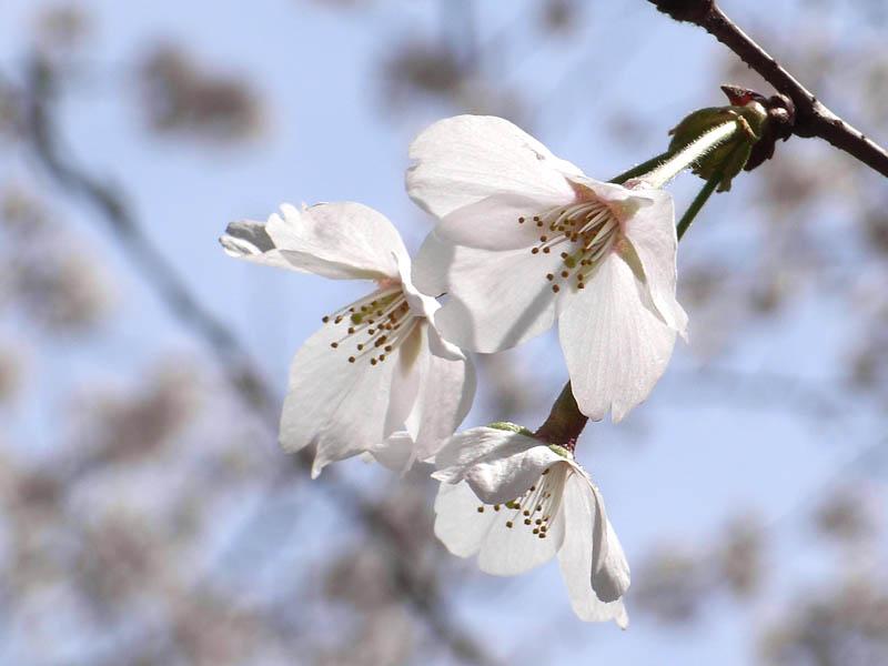 080329弘明寺公園桜3