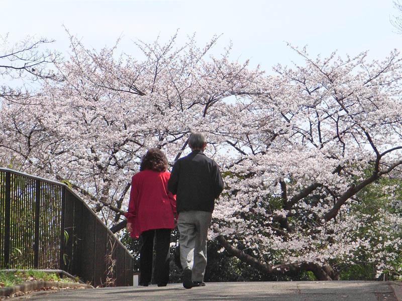 080329弘明寺公園桜4