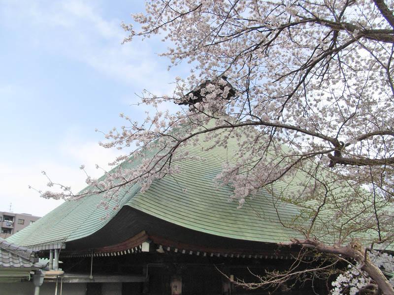 080329弘明寺公園桜5