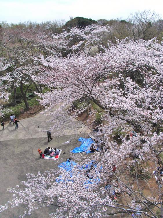 080329弘明寺公園桜2