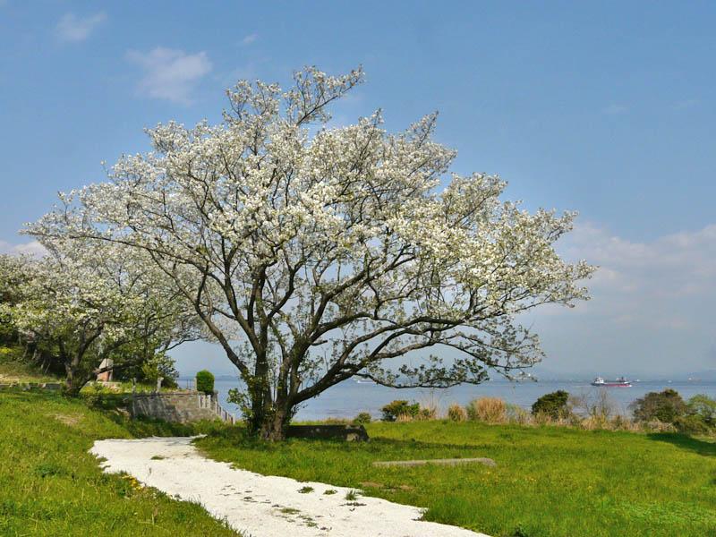 080406海と桜1