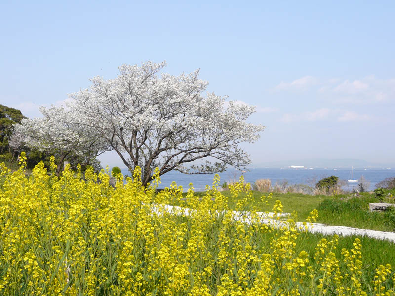 080406海と桜2