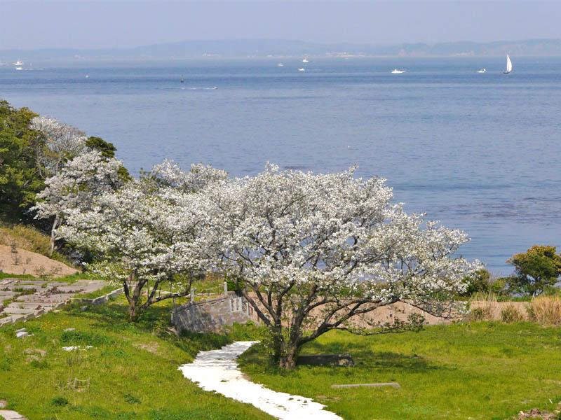 080406海と桜3