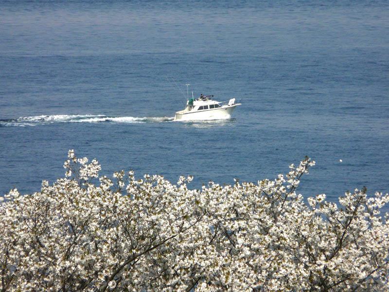 080406海と桜4