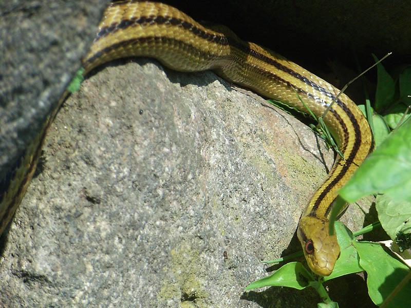 080521カナヘビとシマヘビ2