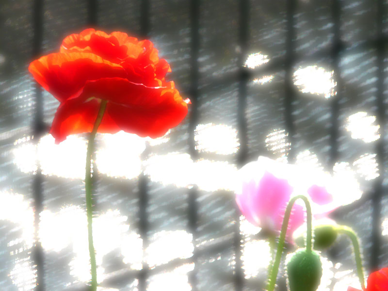 080522紅い花3