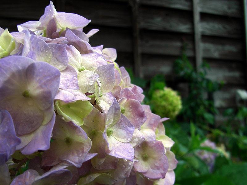 080529雨と紫陽花2