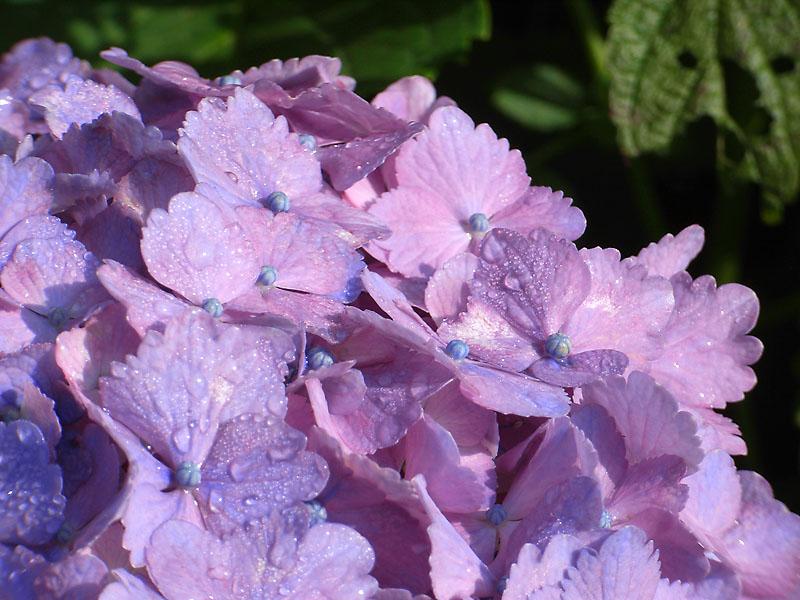 080610朝の花、夕の花1