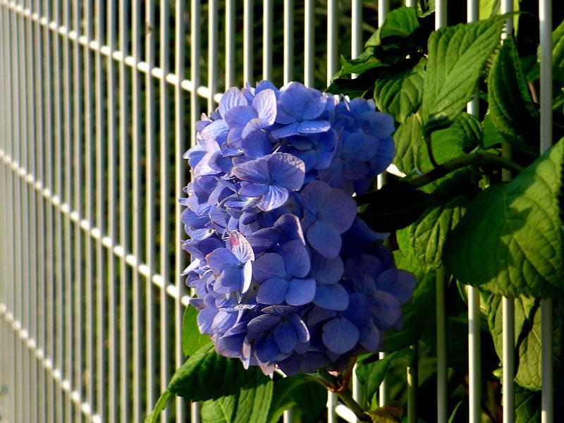 080610朝の花、夕の花3