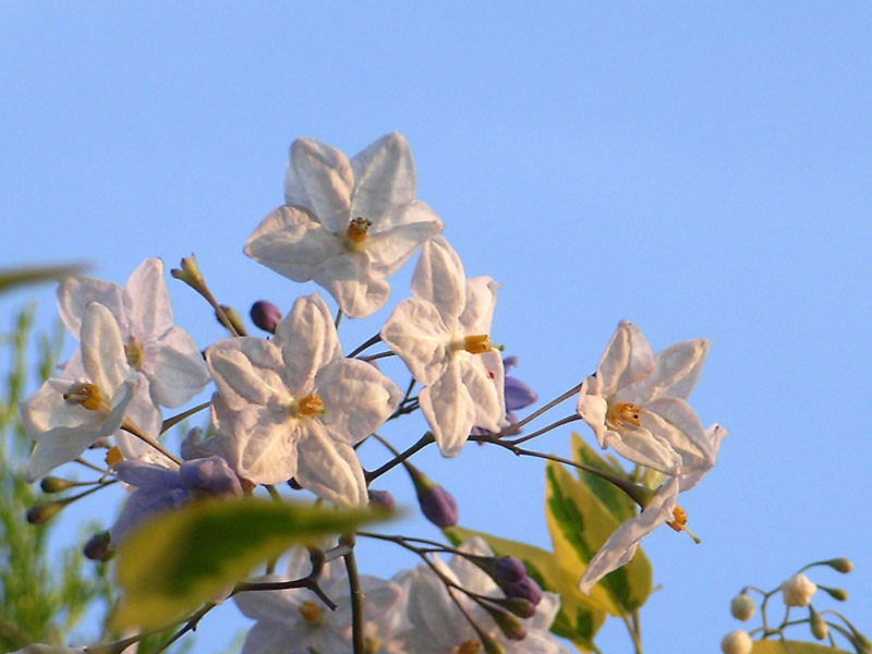 080610朝の花、夕の花4